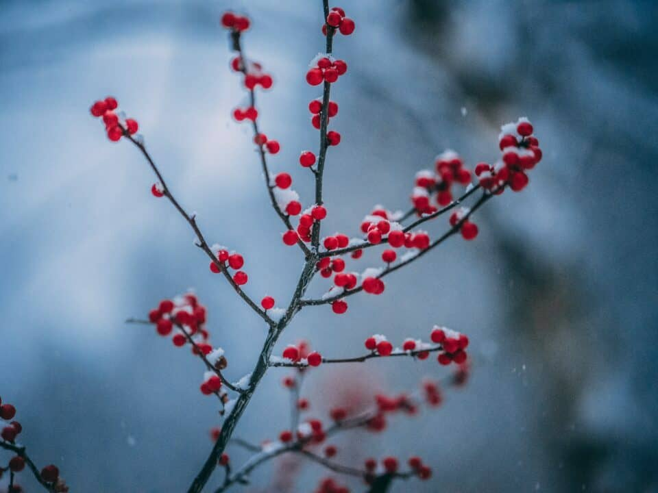 red berries on branch in snow for how to optimise your multi channel marketing for small business article